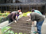 Sowing onion and garlic